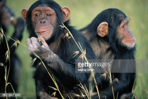 Adult common chimpanzee (Pan troglodytes) eating, close-up : Stock Photo
