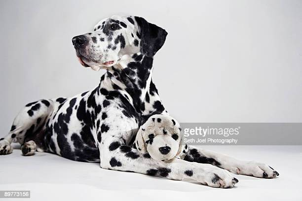 Adult Dalmatian with stuffed toy dog