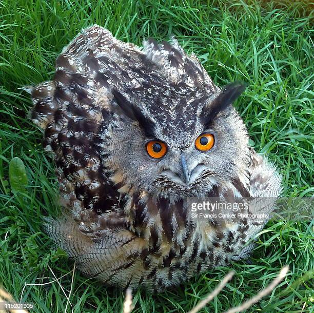 Adult  eagle owl