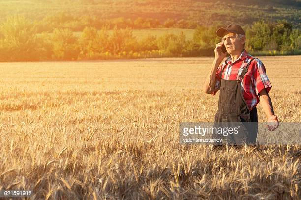 Adult farmer using phone in the middle of wheat field