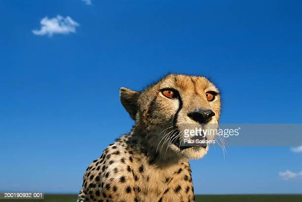 Adult female cheetah (Acinonyx jubatus), close-up