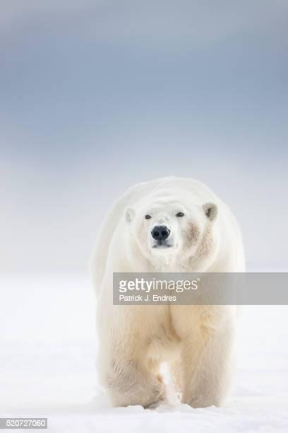 Adult female polar bear in snow