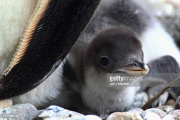 Adult gentoo penguins keep an eye on their newly born chick at Edinburgh Zoo on June 10 2011 in Edinburgh Scotland The gentoo chicks which started...