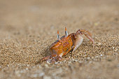 Adult ghost crabs (Ocypode sp.) on the beach at Bartolome Island in the Galapagos Island Group, Ecuador. Pacific Ocean. These burrowing crabs sift through beach sand to feed at low tide and leave behi
