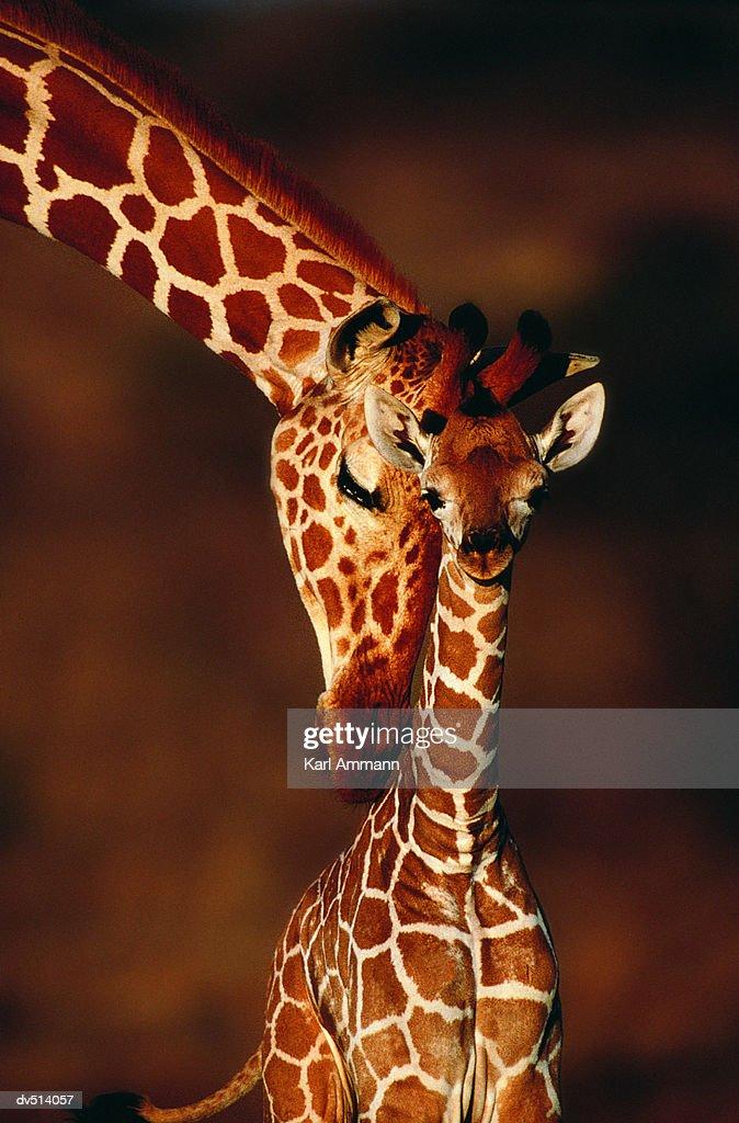 Adult Giraffe with calf (Giraffa camelopardalis) : Stock Photo