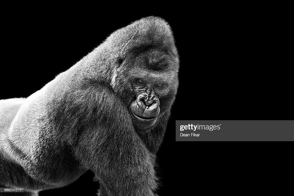 Adult Gorilla on Black