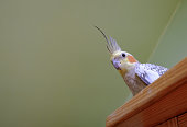 The bird, half of a mating pair is seen resting on the bookcase, having flown as regular exercise.
