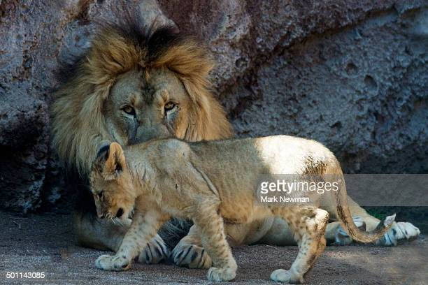Adult Lion with baby