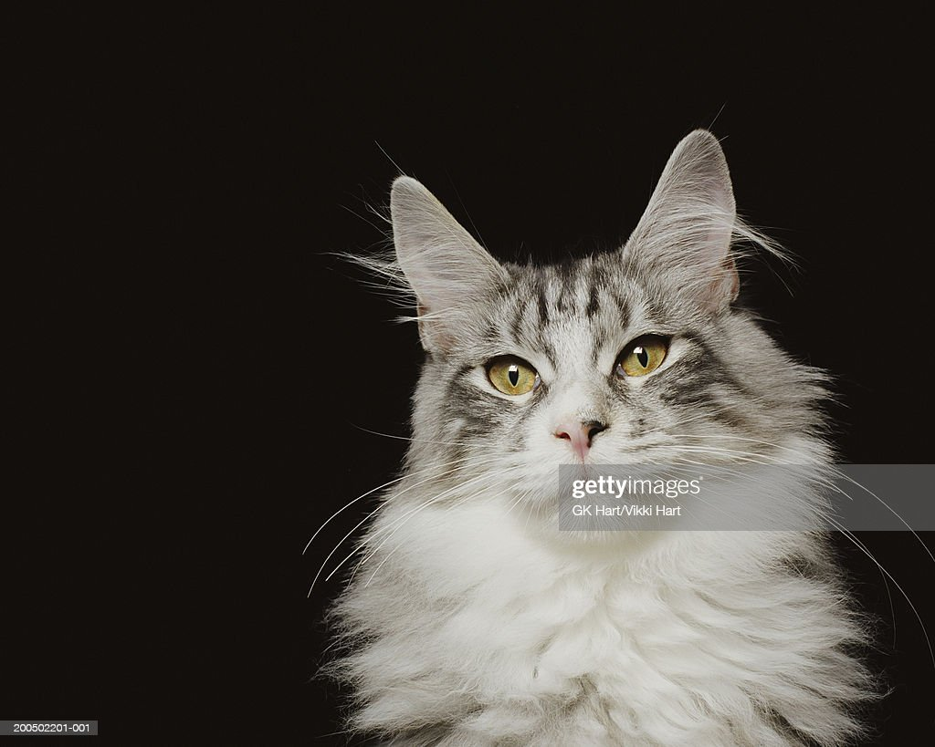 Adult Maine Coon Cat, close-up : Stock Photo