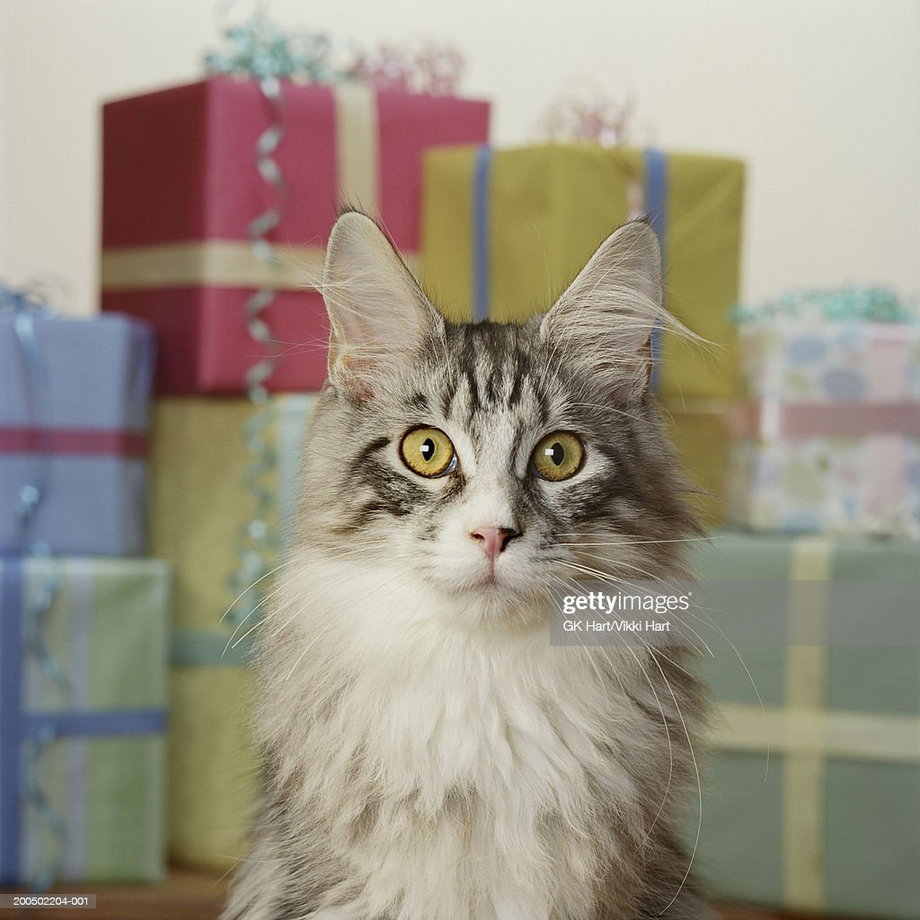 Adult Maine Coon Cat in front of stack of presents : Stock Photo