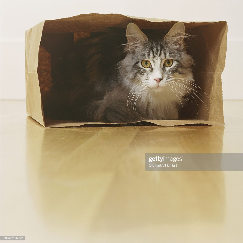 Adult Maine Coon Cat in paper bag : Stock Photo
