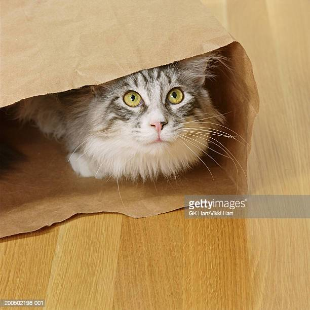 Adult Maine Coon Cat  in paper bag