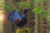 The western capercaillie (Tetrao urogallus), also known as the wood grouse, heather cock, or just capercaillie is the largest member of the grouse family in the morning sun in forest.