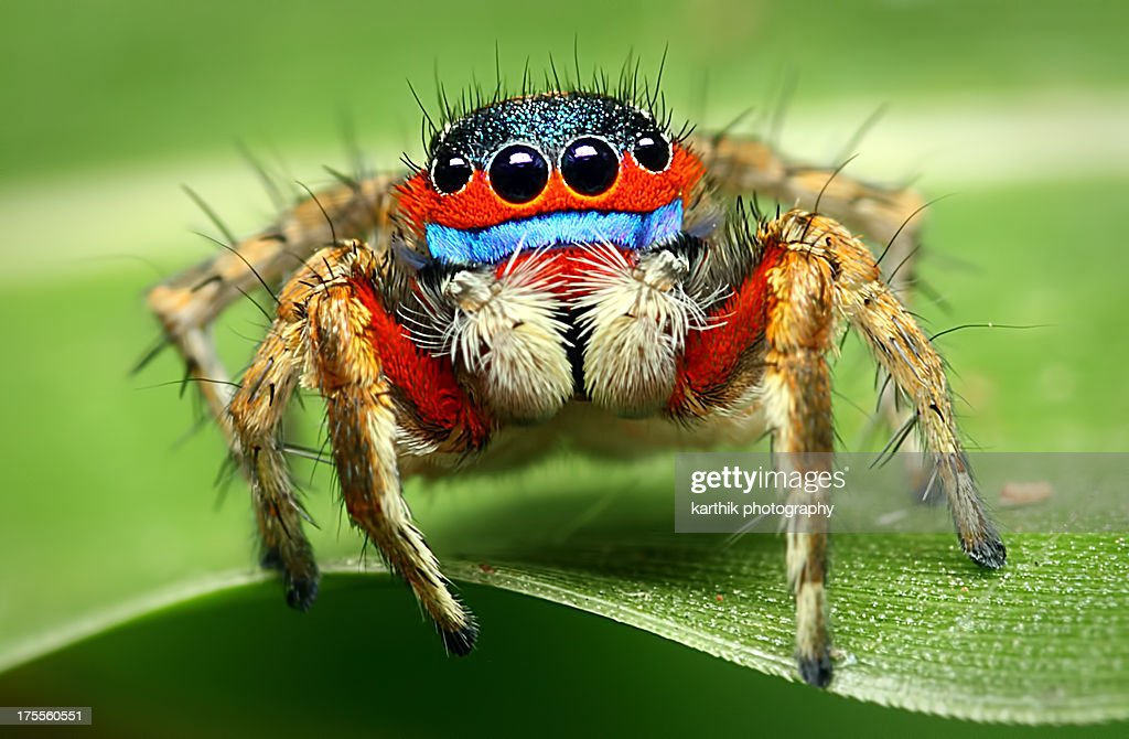 Adult male jumping spider : Stock Photo