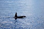Adult male Killer whale (Orcinus orca). Olafsvik, Iceland.