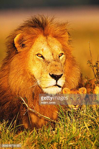 Adult male lion and cub (Panthera leo) sitting in grass