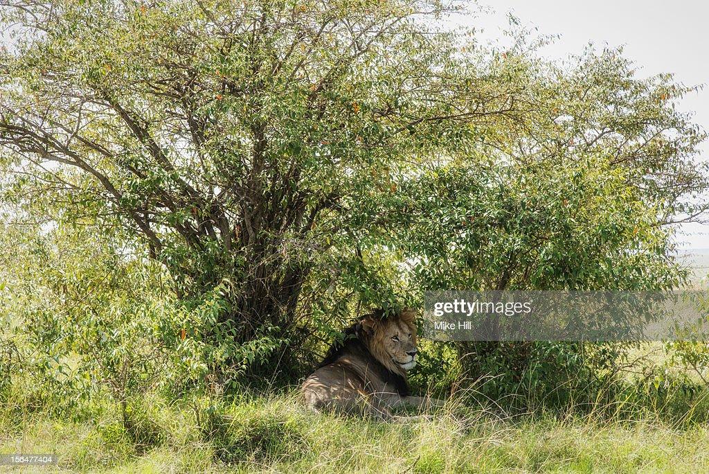 Adult male lion (Panthera leo) enjoying the shade : Stock Photo