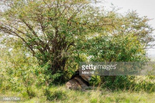 Adult male lion (Panthera leo) enjoying the shade : Stock-Foto