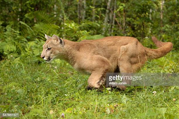 Adult Mountain Lion running, Puma concolor