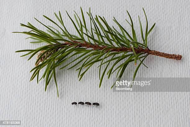 Adult mountain pine beetles are arranged with foliage from a lodgepole pine tree for a photograph at the University of Alberta in Edmonton Alberta...