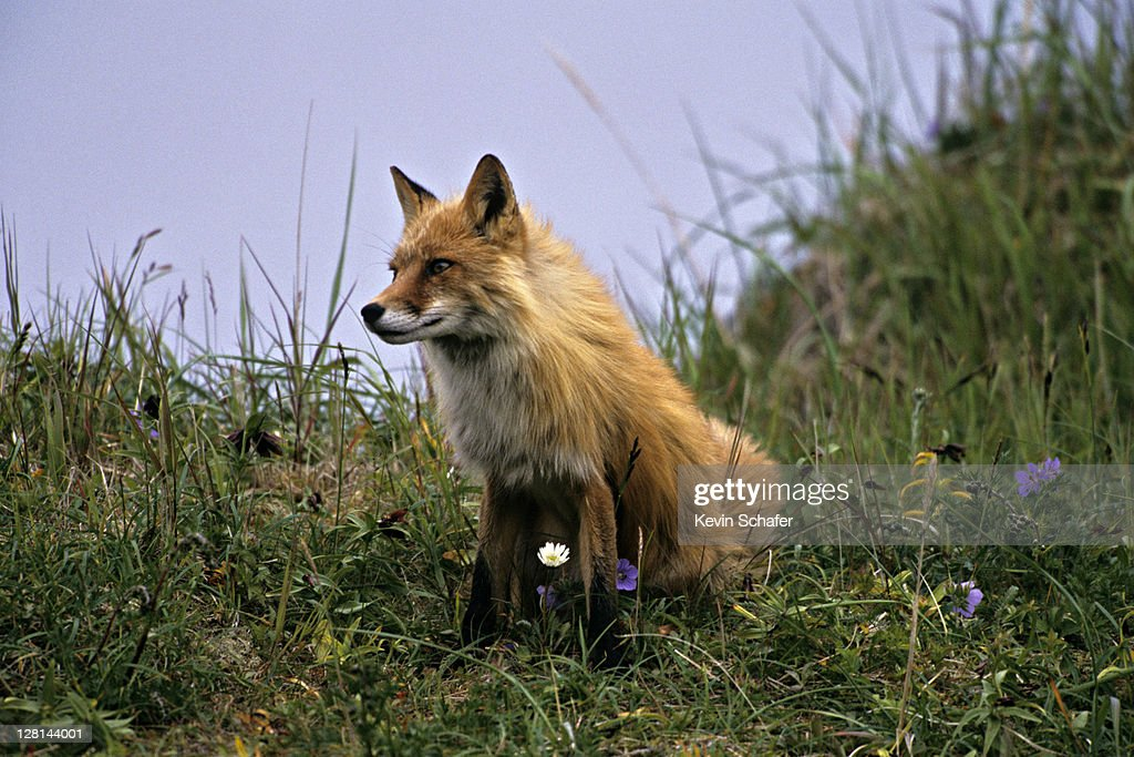 Adult Red Fox, Vulpes vulpes, Round Island Sanctuary, southwestern Alaska, USA : Stock Photo