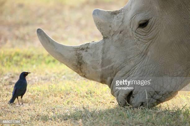 Erwachsenen rhino