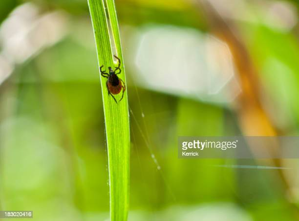 adult tick (Ixodes scapularis) on grass - nature shot