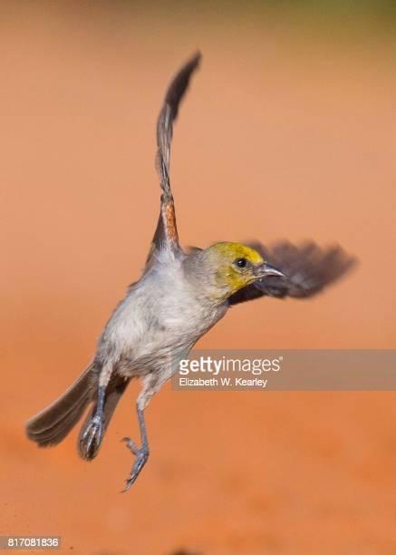 Adult Verdin in Flight