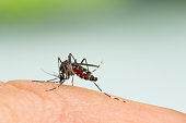 Aedes aegypti Mosquito. Close up a Mosquito sucking human blood,Mosquito Vector-borne diseases,Chikungunya.Dengue fever.Rift Valley fever.Yellow fever.Zika.Mosquito on skin