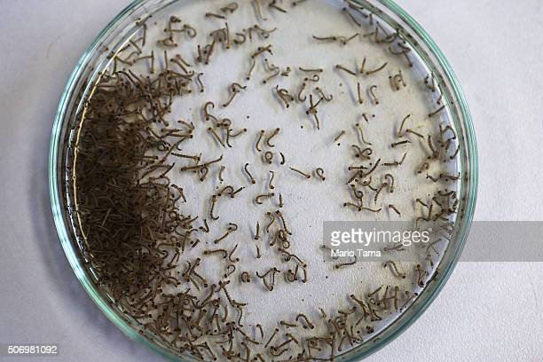 Aedes aegypti mosquito larvae are seen in a lab at the Fiocruz institute on January 26 2016 in Recife Pernambuco state Brazil The mosquito transmits...