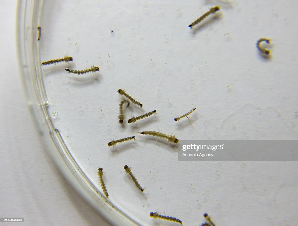 Aedes aegypti mosquitoe larvas that carry the Zika virus are seen at a laboratory of the National Center for the Control of Tropical Diseases (CENCET) in Santo Domingo, Dominican Republic on February 10, 2016.