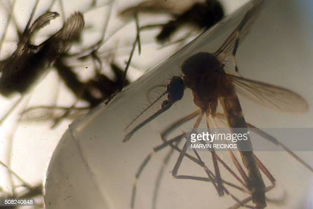 Aedes aegypti mosquitos are photographed in a laboratory at the University of El Salvador in San Salvador on February 3 2016 Health authorities...