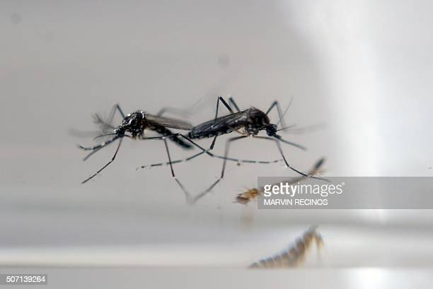 Aedes Aegypti mosquitos are photographed in a laboratory of control of epidemiological vectors in San Salvador on January 27 2016 Health authorities...
