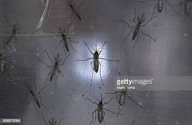 Aedes aegypti mosquitos are seen in a lab at the Fiocruz institute on January 26 2016 in Recife Pernambuco state Brazil The mosquito transmits the...
