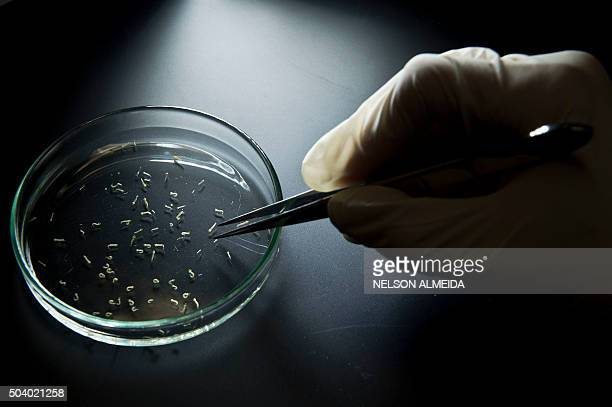 Aedes aegypti mosquitos are seen in containers at a lab of the Institute of Biomedical Sciences of the Sao Paulo University on January 8 2016 in Sao...