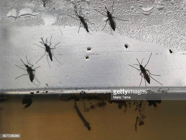 Aedes aegypti mosquitos in various stages of development are displayed at en exhibition on Dengue fever on January 28 2016 in Recife Pernambuco state...