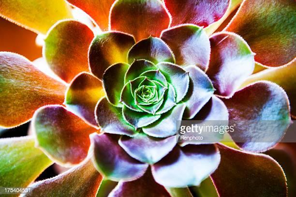 Aeonium Arboreum Plant