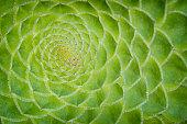 Saucer plant