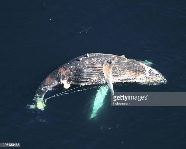 Aerial of dead Humpback whale (Megaptera novaeangliae) caught in fishing line. Gulf of Maine, USA. (rr)