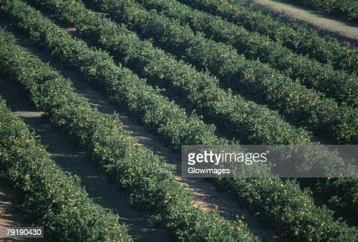 Aerial of orange groves, Florida : Stock Photo