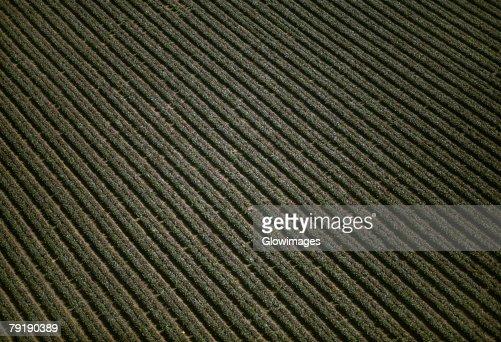 Aerial of red leaf lettuce field : Foto de stock