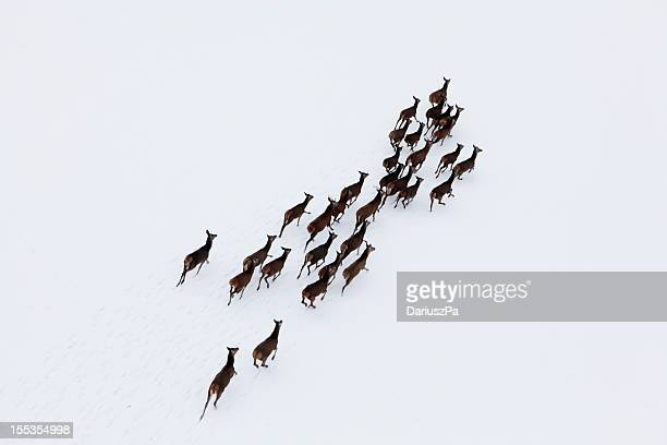 Aerial photo of a herd of deer running through snow