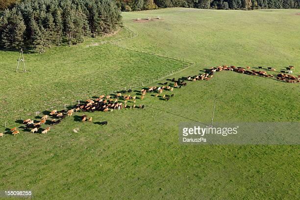 photo aérienne des animaux de ferme