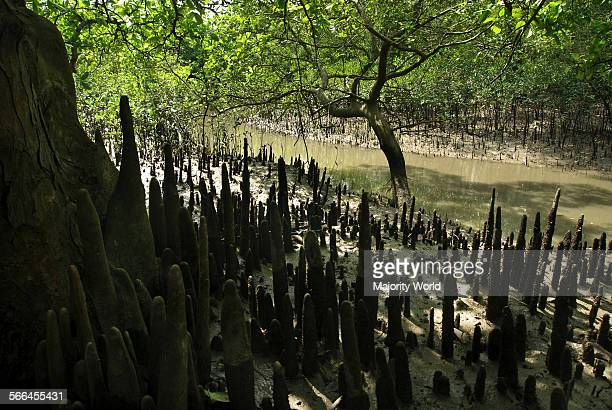 Aerial roots of mangrove trees in the Sundarbans Khulna Bangladesh April 1 2011 The name Sundarban meaning beautiful forest may have been derived...