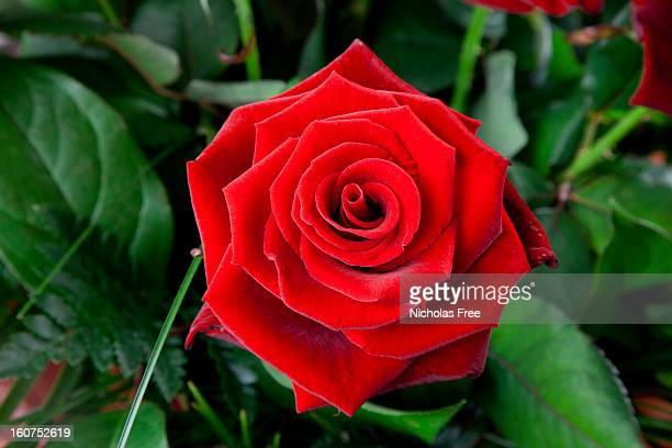 Rosa Aérea