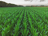 Aerial shoot from a maize rows in Spain