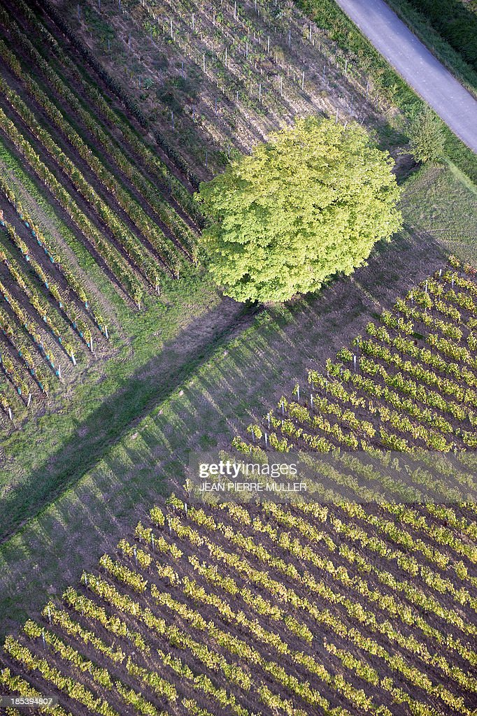 Aerial view from a hot air balloon shows rows of vines in vineyards near the village of Saint Emilion on October 19, 2013. AFP PHOTO/ JEAN PIERRE MULLER