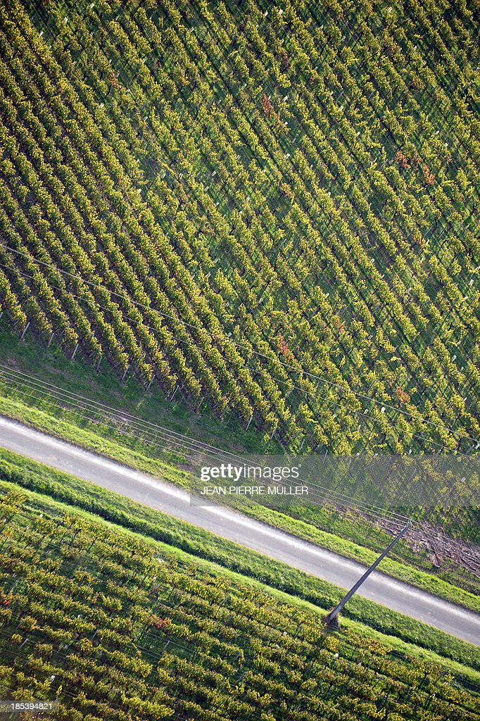 Aerial view from a hot air balloon shows rows of vines in vineyards near the village of Saint Emilion on October 19, 2013.