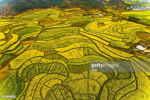Aerial view image shows rape flowers blossom in large areas in Wuyi District on March 15 2016 in Yichang Hubei Province of China The blooming rape...