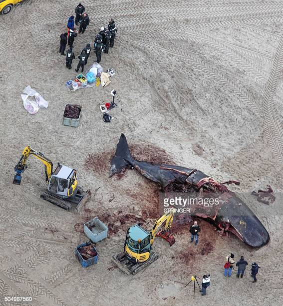 Aerial view of a spermwhale aslo know as cachalot on the island of Texel The Netherlands on January 14 2016 Five spermwhales were beached on the...